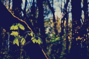 Herb of the Month: Devil's Club, Oplopanax Horridum