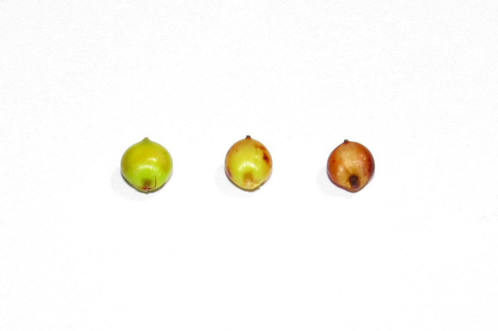 White background featuring 3 green, red, yellow sorghum kernels