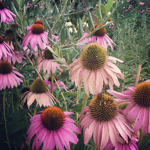Purple echinacea flowers in their natural habitat.
