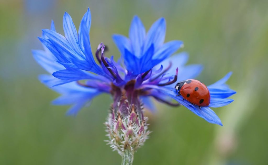 A ladybug walk along a petal on a fantastic blue cornflower.